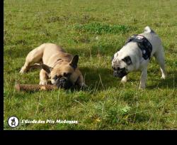 Comprendre le grognement du chien